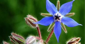 Bourrache fleur