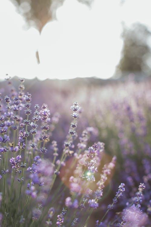 Lavande fleur