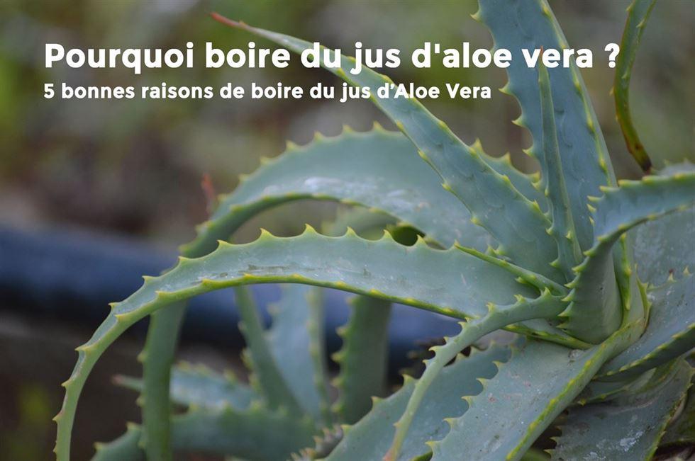 Comment Entretenir Une Plante Aloe Vera pourquoi boire du jus d'aloe vera ?
